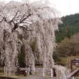 Sakurashower